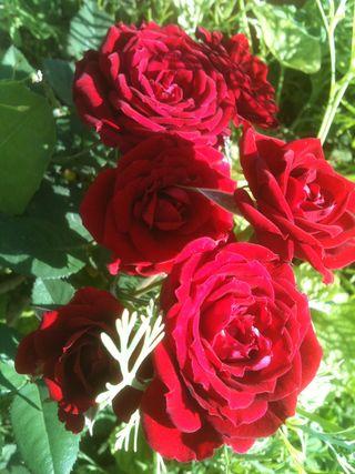 Rosesrouges-août